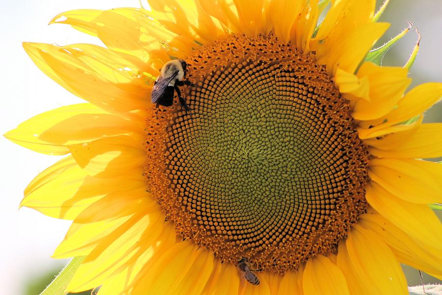 Bumble Bee On Sunflower Photograph