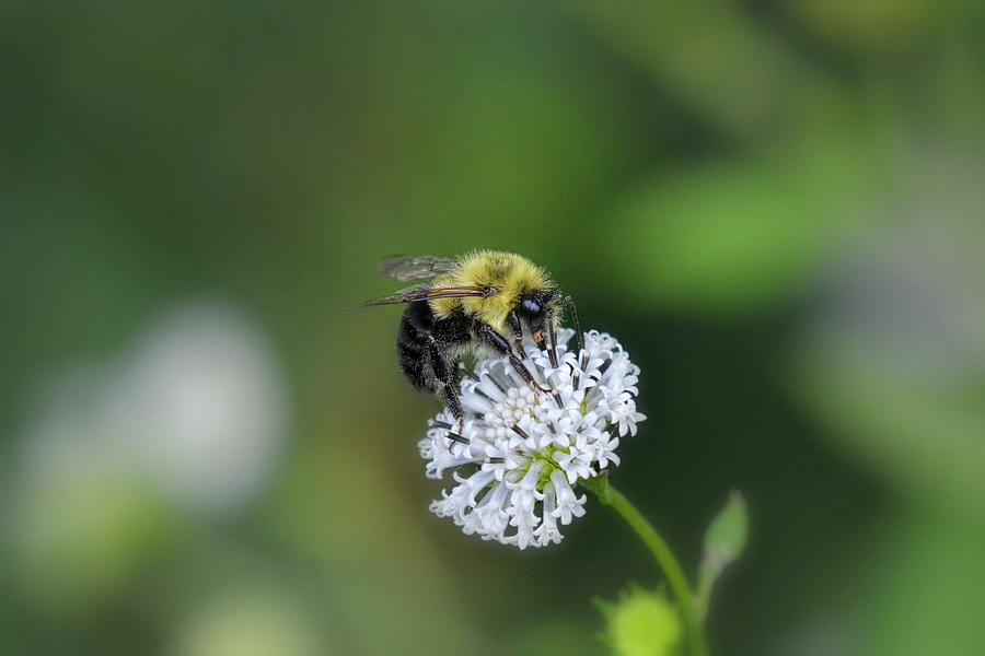 Bumble Bee On White Wild Flower On Banks Of Tennessee River At Shiloh National Military Park Photograph