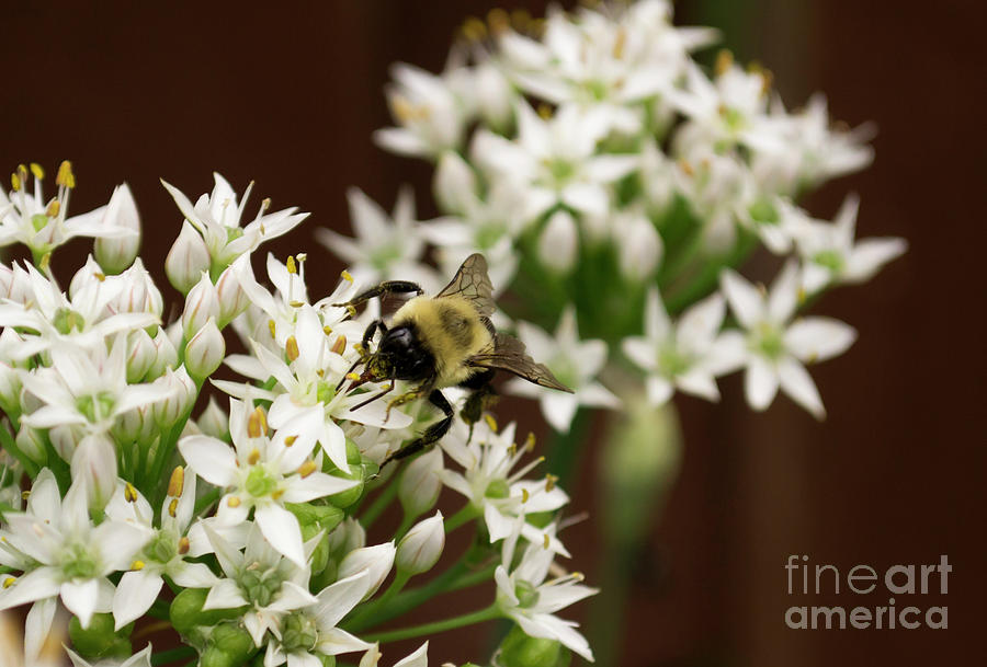 Bumble Photograph - Bumble Bee On Wild Onion Flower by Kara Kelso
