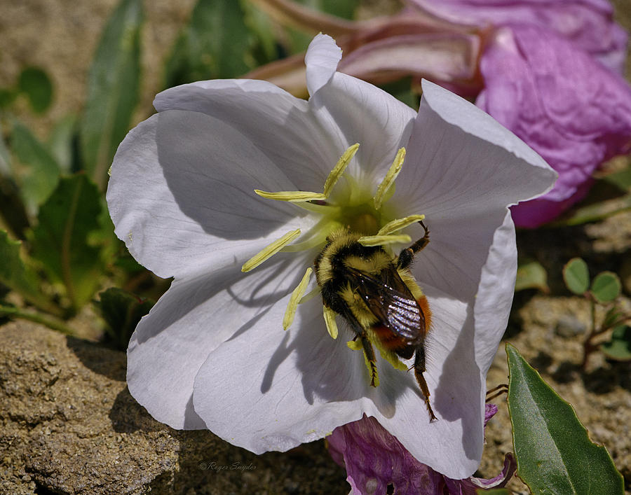 Bumble Bee Photos Photograph - Bumble Bee On Wild Primrose 1 by Roger Snyder