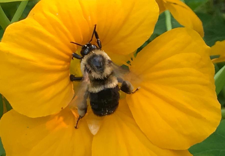 Bee Photograph - Bumble Bee On Yellow Nasturtium by Morgan Chojnacki
