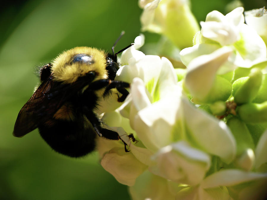 Bee Photograph - Bumble Bee by Valeria Donaldson