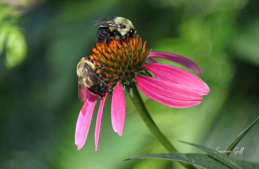 Bumble Bee Photograph - Bumble Bees At Work by Suzanne Gaff