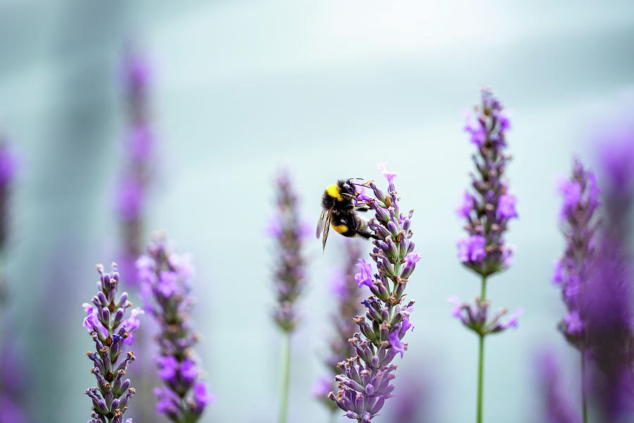Lavender Photograph - Bumblebee and Lavender by Nailia Schwarz