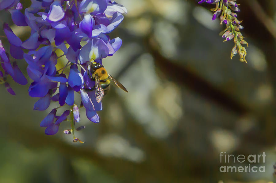 Bumblebee And Wisteria Photograph