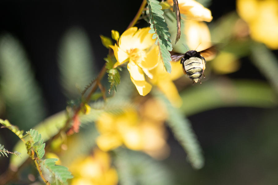 Bumblebee Photograph - Bumblebee Heading Into Work by JR Cox