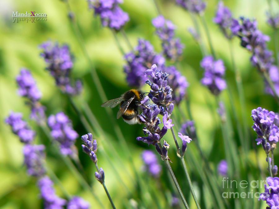 Design Photograph - Bumblebee by Mando Xocco