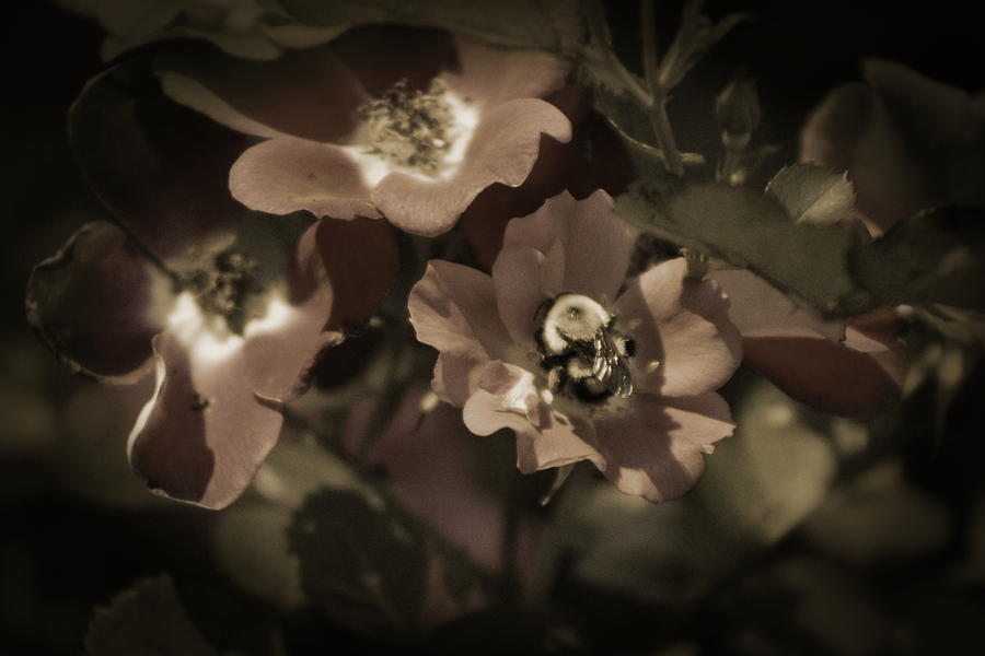 Sepia Photograph - Bumblebee on Blush Country Rose in Sepia Tones by Colleen Cornelius