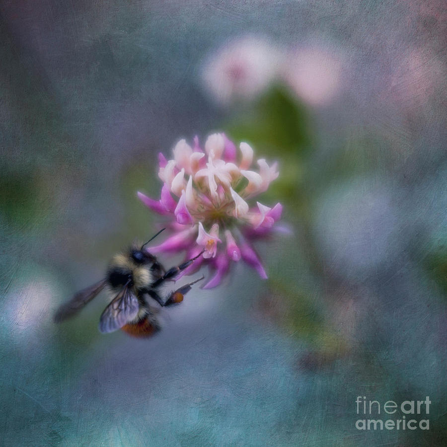 Bumblebee Photograph - Bumblebee on Clover Blossom by Priska Wettstein