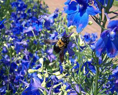 Bees Photograph - Bumblebee by Suzette Eichenberg