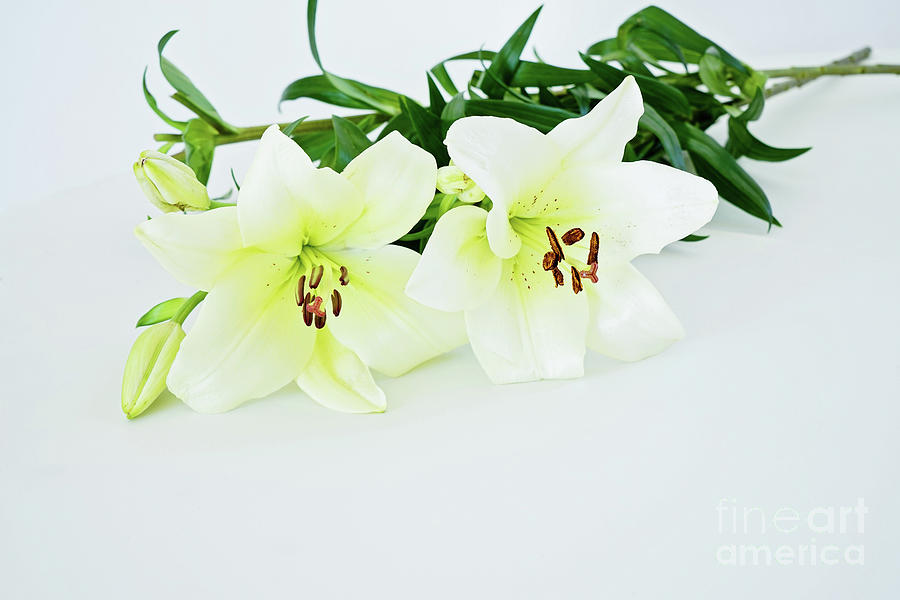 Bunch Of Fresh White Lily Photograph