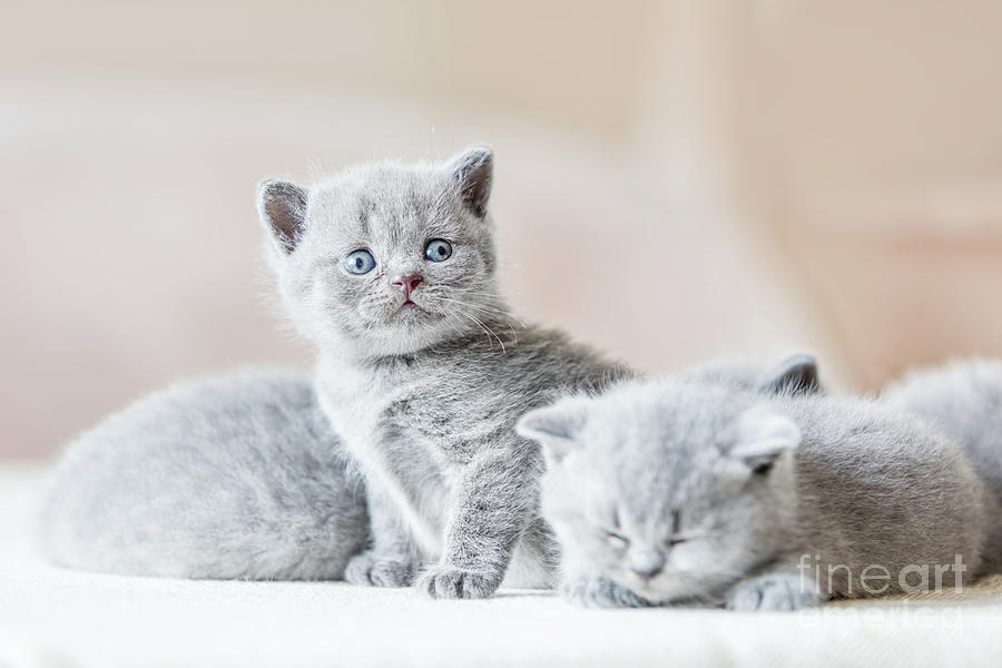 Bunch Of Little Grey Cats British Shorthair Photograph By Michal