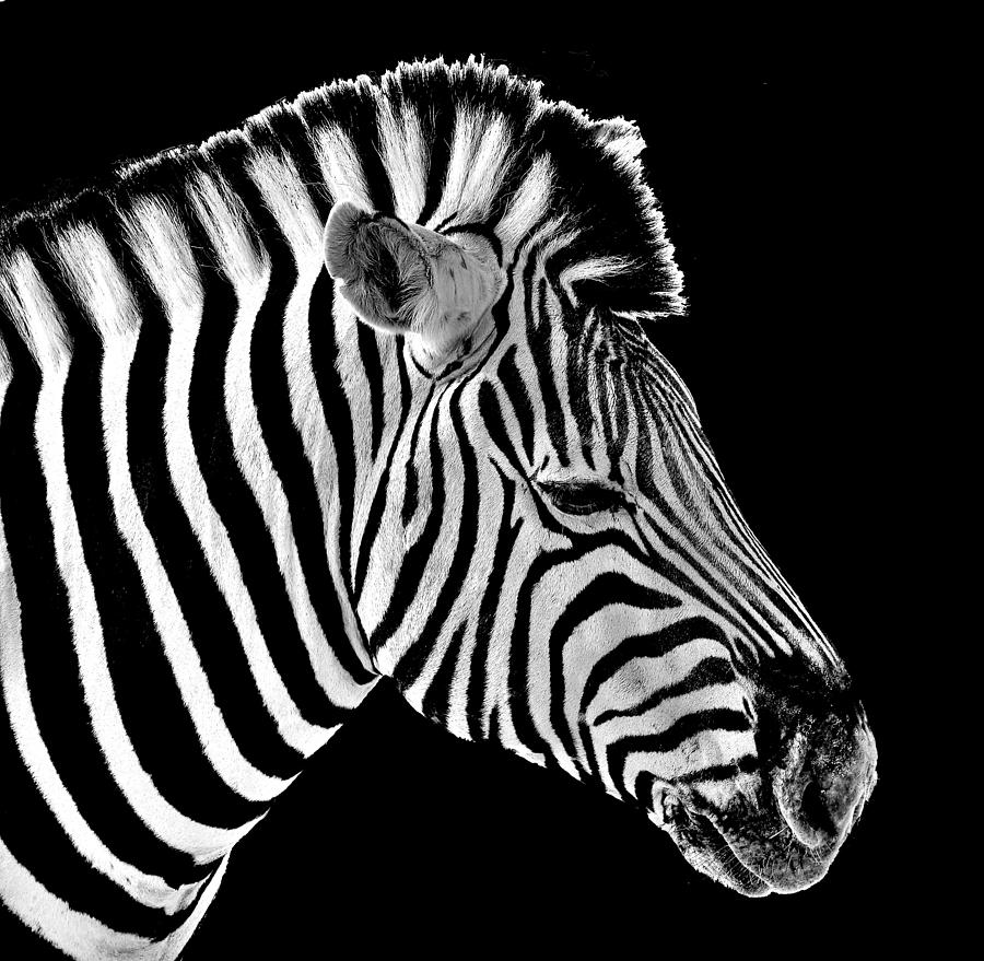 Burchells Zebra Photograph