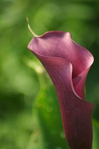 Calla Lily Photograph - Burgandy Lace Calla Lily by Deborah  DeAmroim