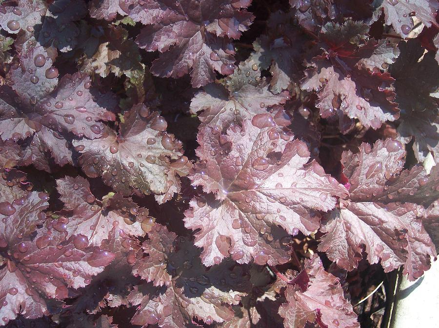 Purple Burgandy Leaves Dew Rain Drops Photograph - Burgandy Leaves After The Rain by Anna Villarreal Garbis