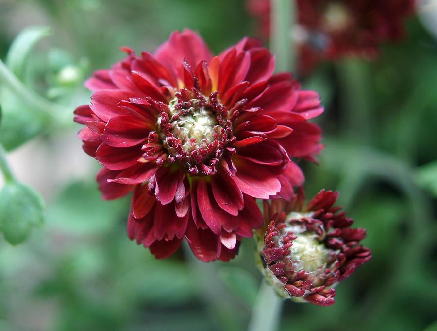 Burgundy Petals Photograph
