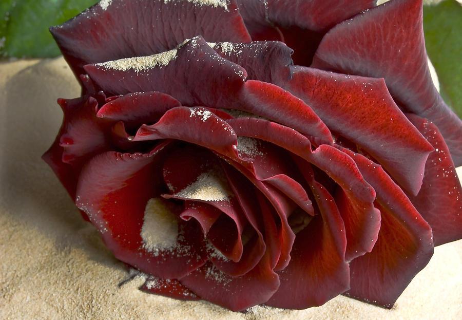 Flower Photograph - Burgundy Rose by Svetlana Sewell