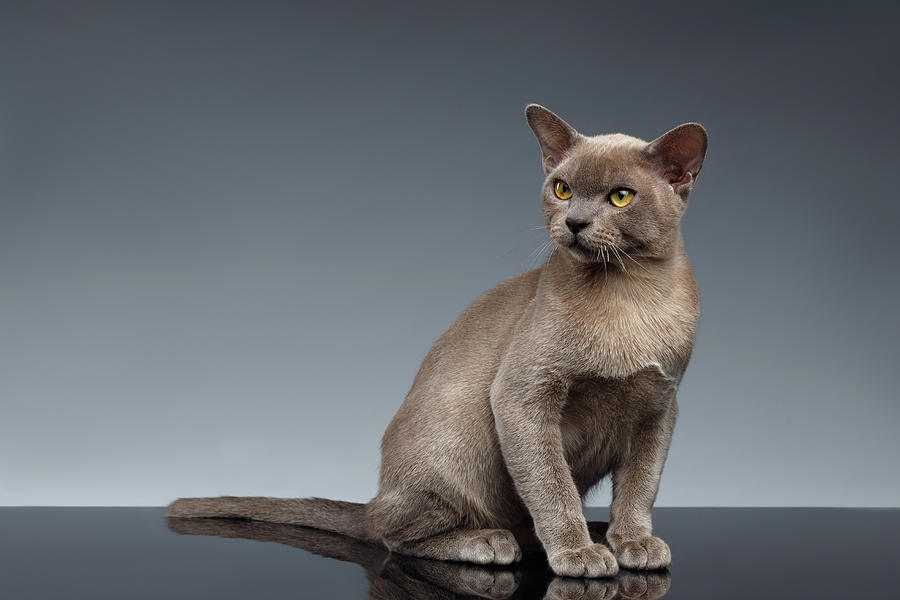 Breed Photograph -  Burma Cat Sits and Loocking up on Gray by Sergey Taran
