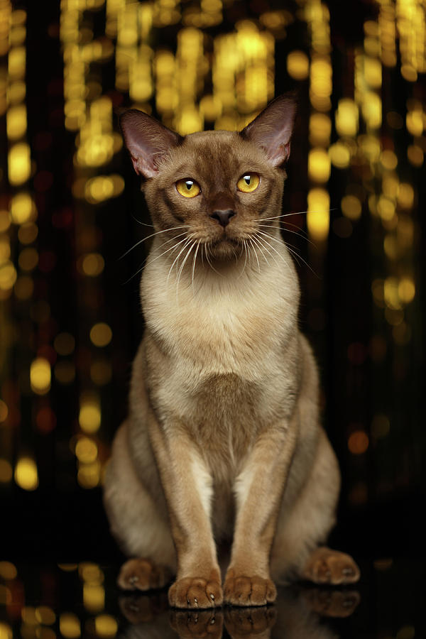 Breed Photograph - Burmese Cat Sits on new year background by Sergey Taran