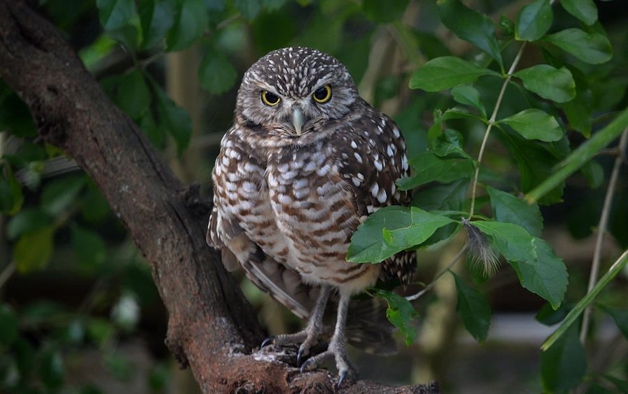Burrowing Owl Photograph - Burrowing Owl Color Version by Judy Wanamaker