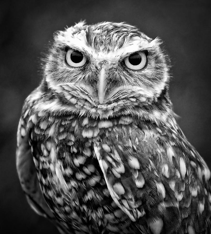 owl athena burrowing mckinzie photograph poster photographs wall posters 29th october which uploaded