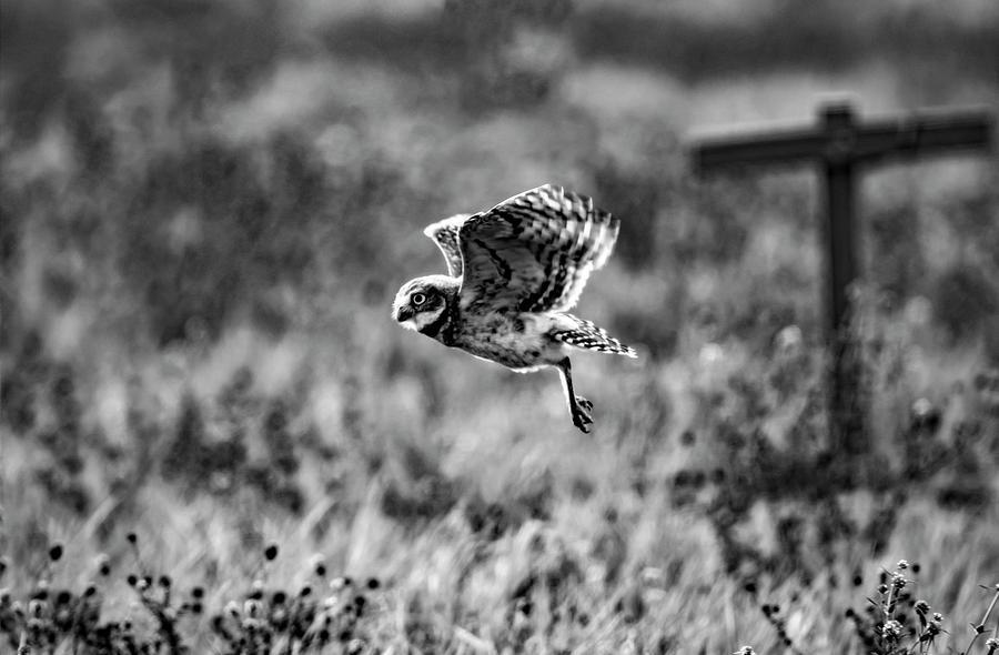 Burrowing Owl In Flight Photograph