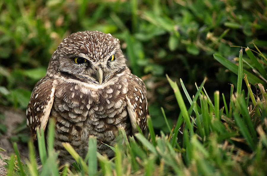 Burrowing Photograph - Burrowing Owl by Mandy Wiltse