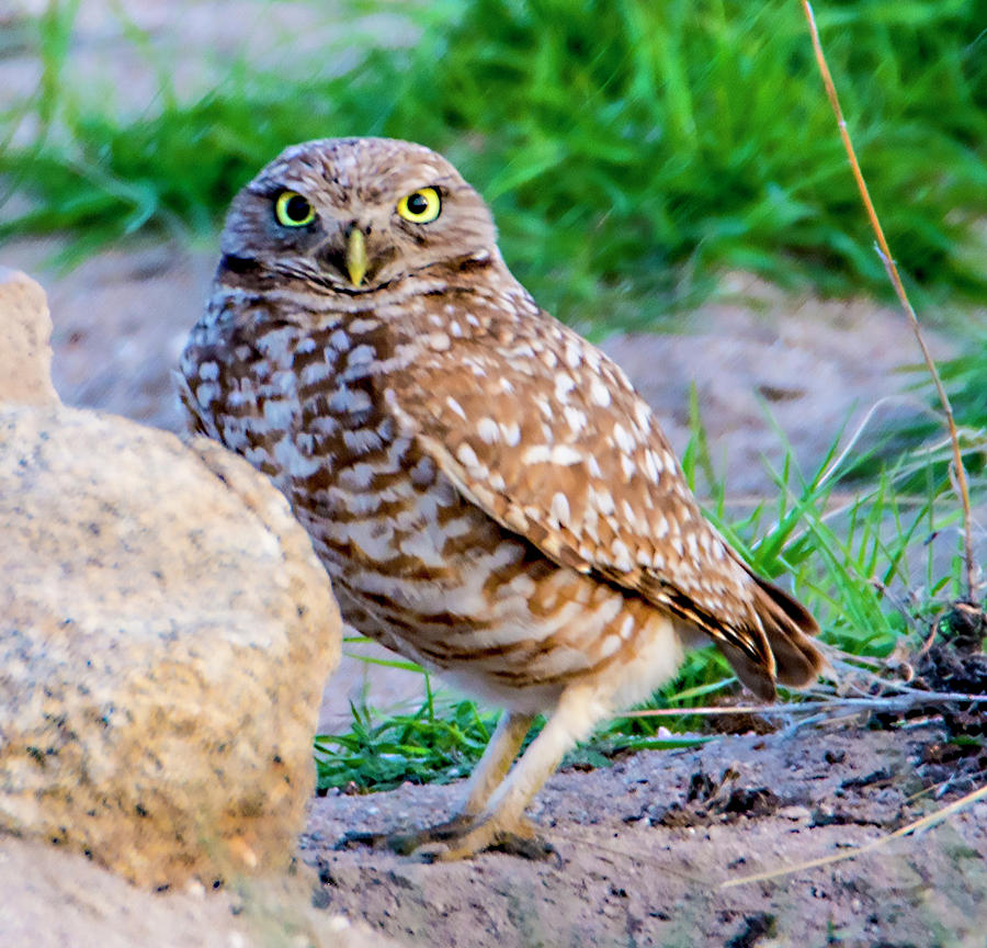 Burrowing Owl Photograph - Burrowing Owl by Norman Hall