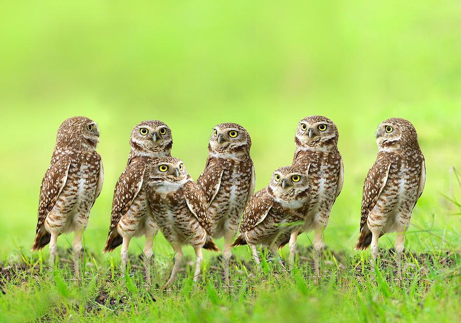 Burrowing Owls Photograph - Burrowing Owl by Thy Bun