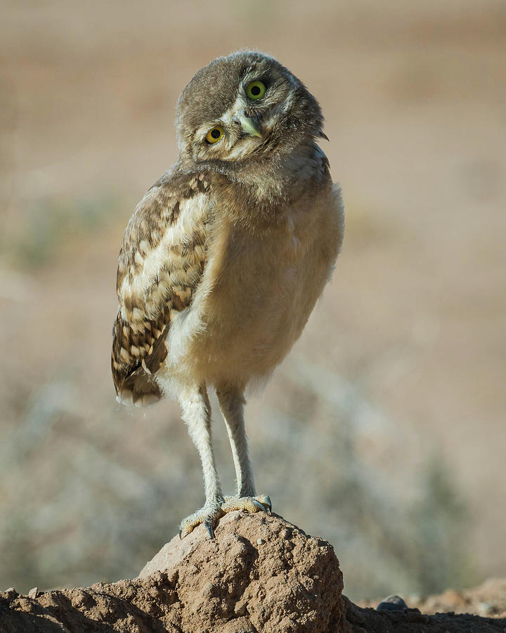 Burrowing Photograph - Burrowing Owlet-img_1414-2017 by Rosemary Woods-Desert Rose Images