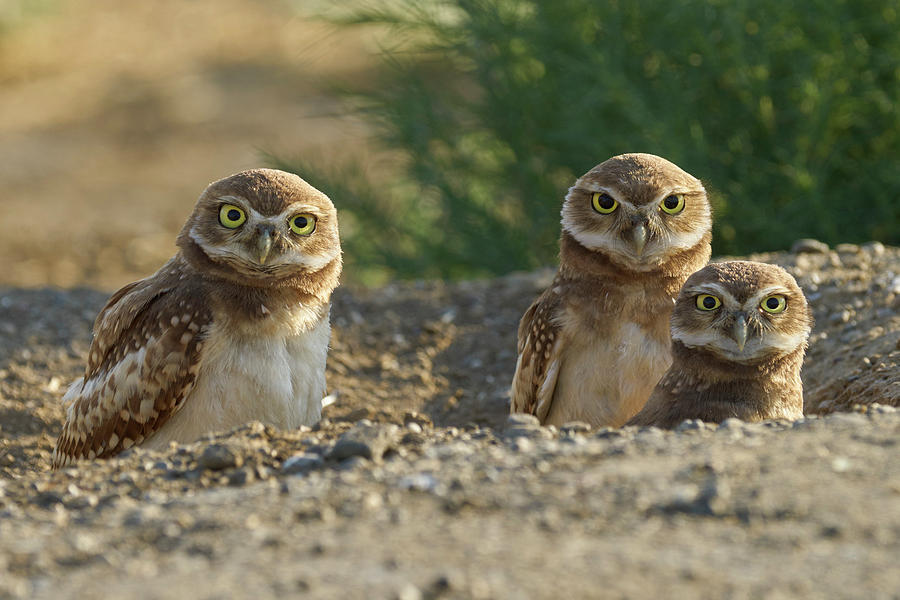 Birds Photograph - Burrowing Owls by Doug Herr
