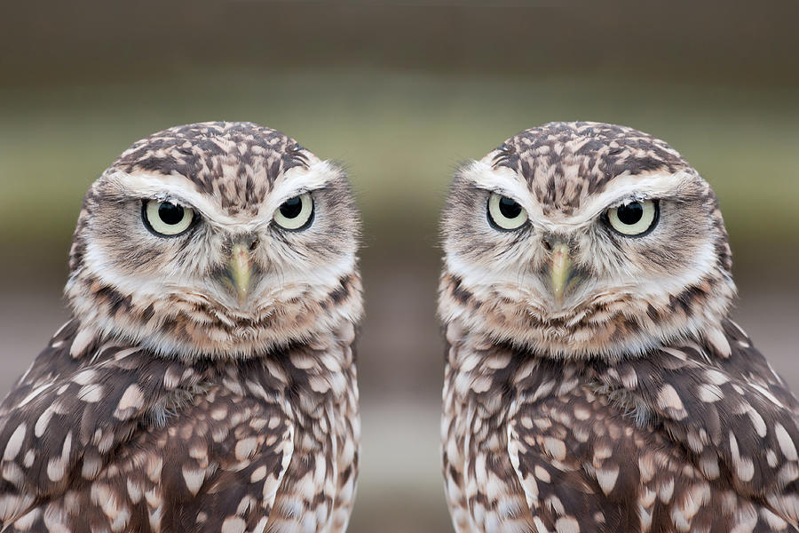 Horizontal Photograph - Burrowing Owls by Tony Emmett