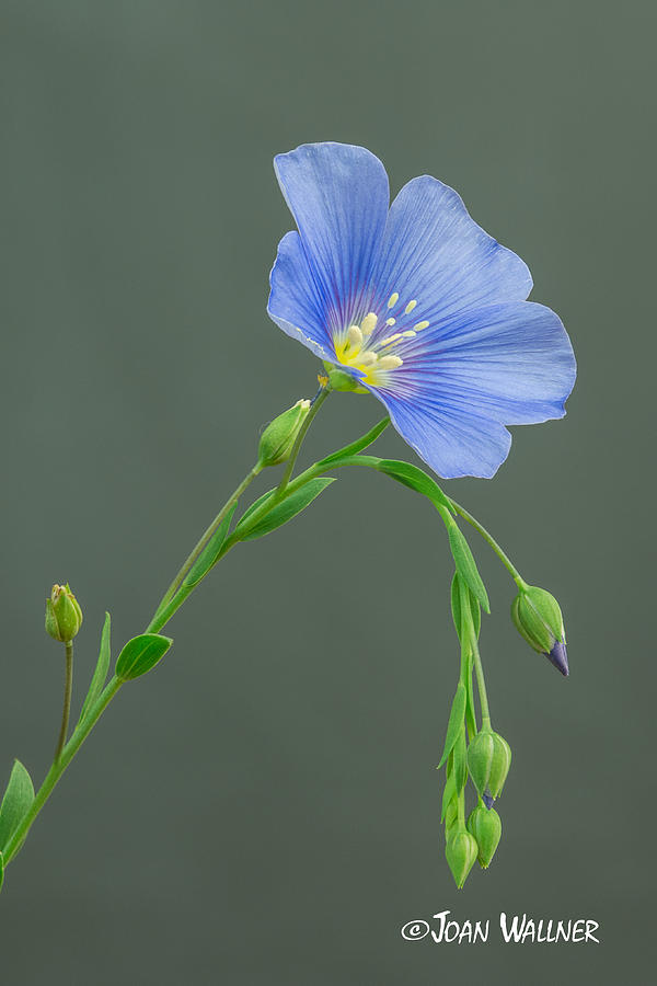 Blue Flower Photograph - Burst of Blue by Joan Wallner