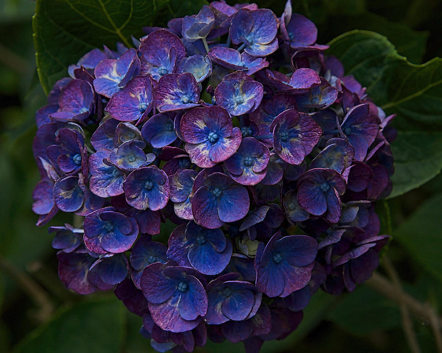 Hydrangea Photograph - Bursting Blues by MCM Photography