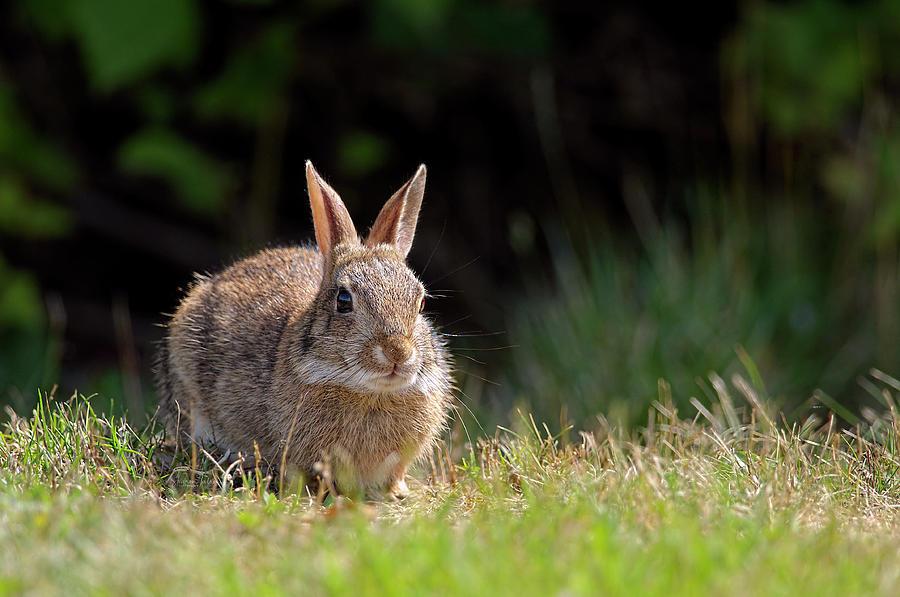 Bush Bunny by Sharon Talson