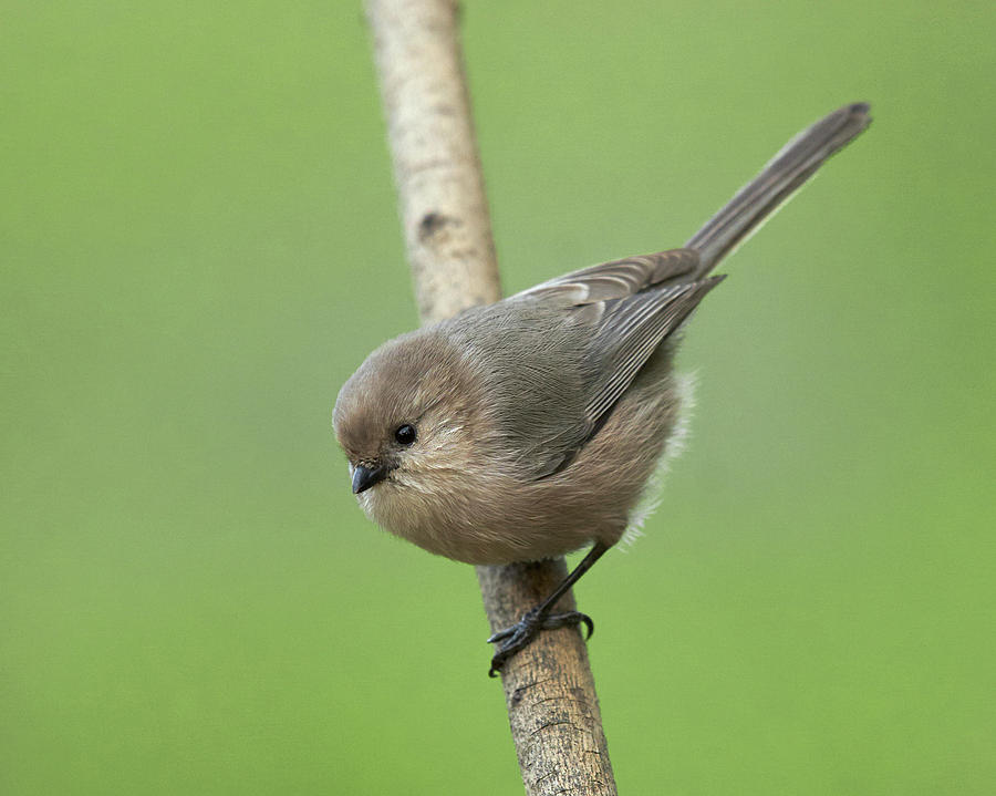 Birds Photograph - Bushtit by Doug Herr