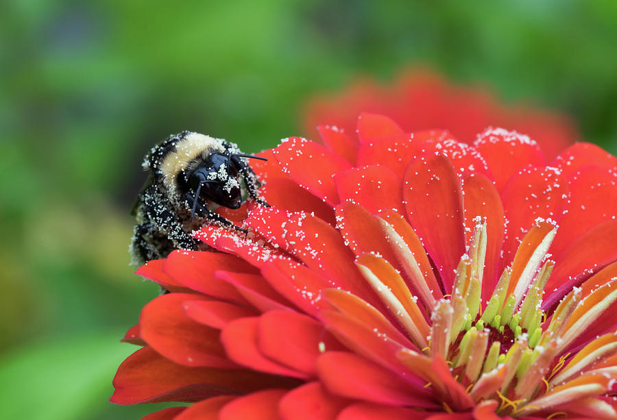 Macro Photograph - Busy Bee by Denise McKay