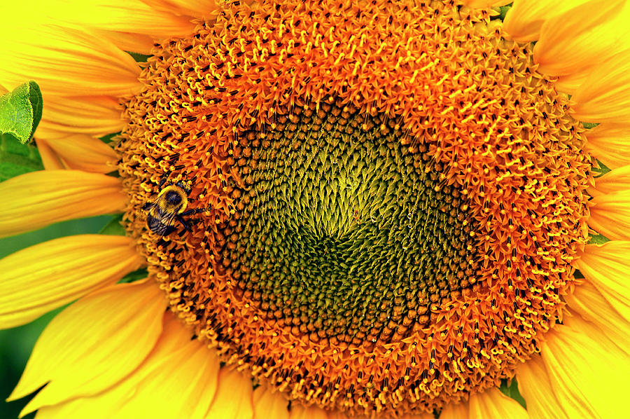 Busy Bee on Sunflower by Sharon Talson