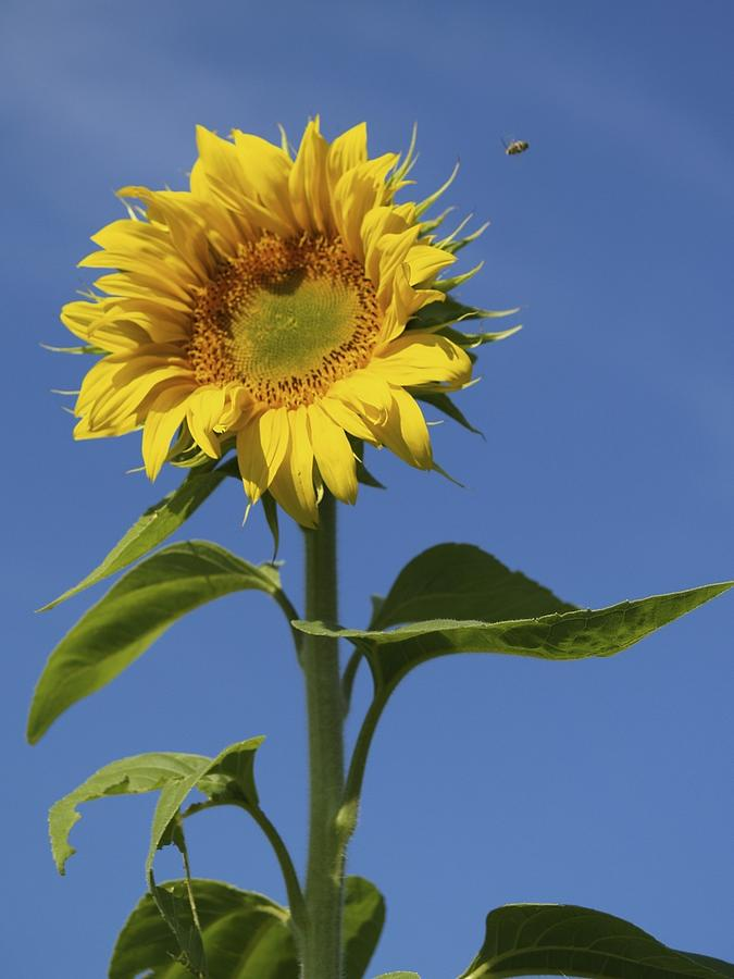 Sunflower Photograph - Busy Bee by Patricia McKay