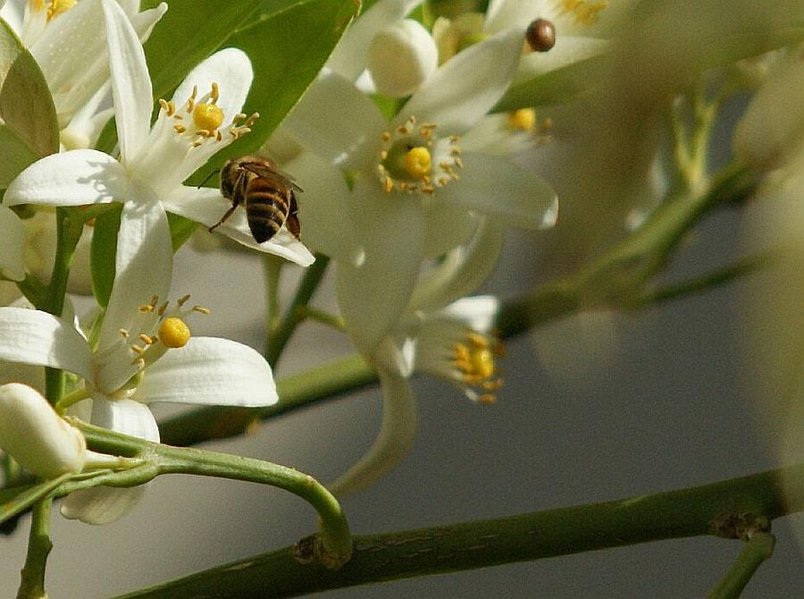 Lemon Blossoms Photograph - Busy Bee by Rosalin Moss