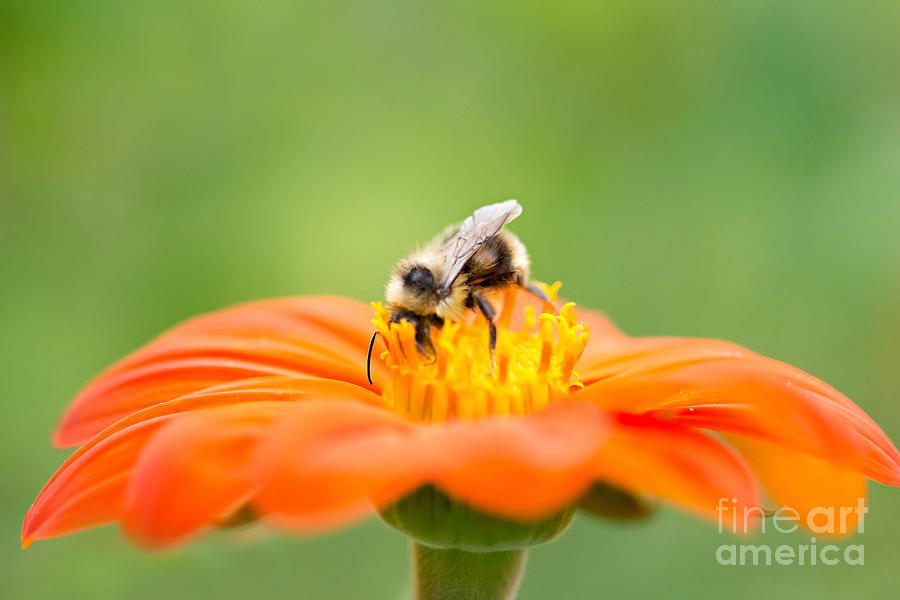 Bee Photograph - Busy Bee by Susan Garver