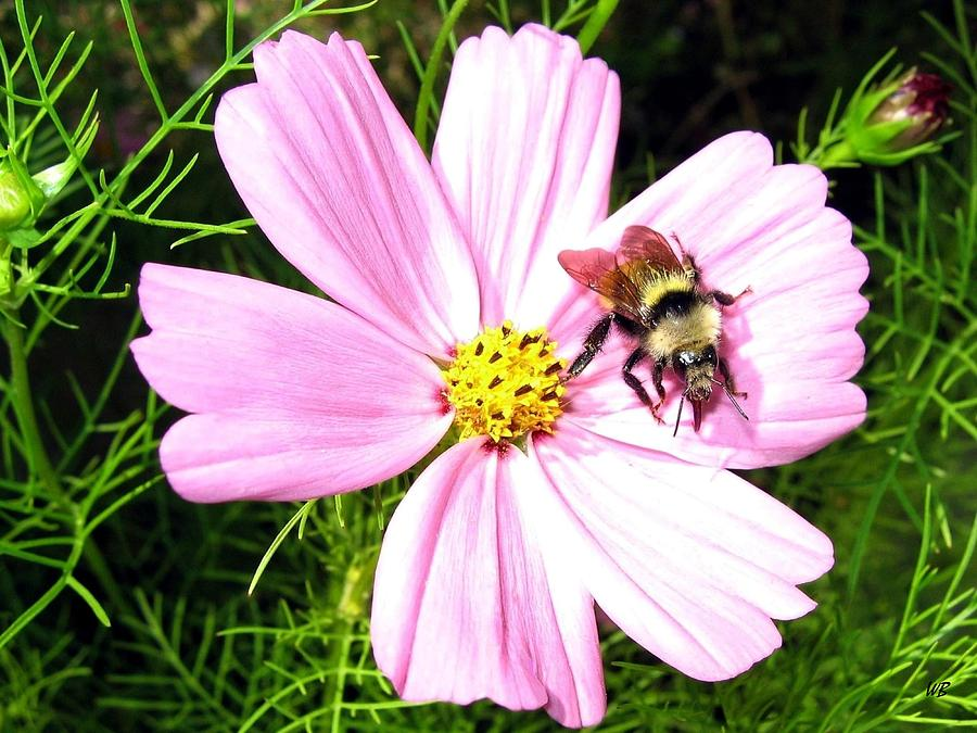 Bee Photograph - Busy Bee by Will Borden