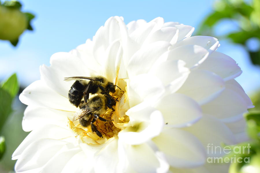 Bee's Photograph - Busy Bees by Stephanie  Varner