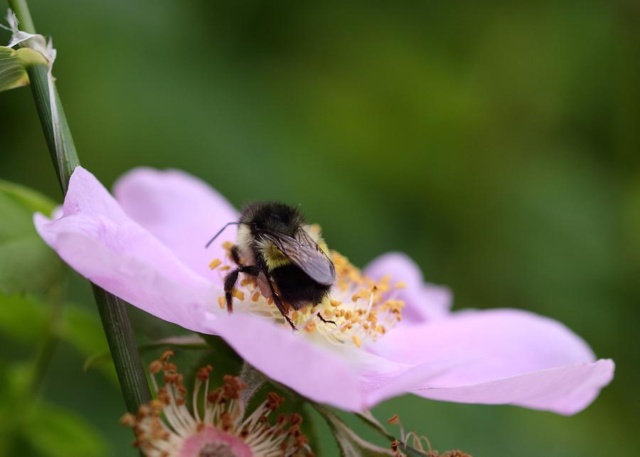 Bumble Bee Photograph - Busy Bumble by Iina Van Lawick