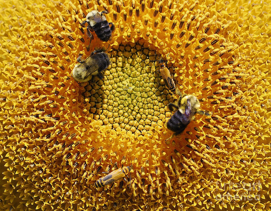Sunflower Photograph - Busy by Randy Bodkins