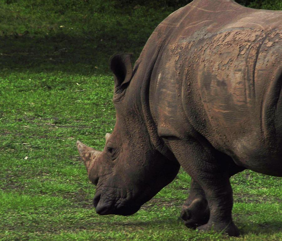 Busy Rhino Photograph