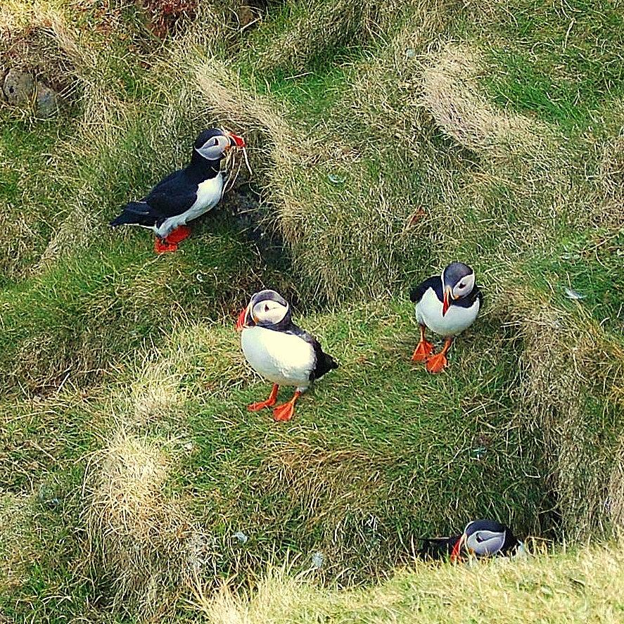 Puffins Photograph - Busy by HweeYen Ong