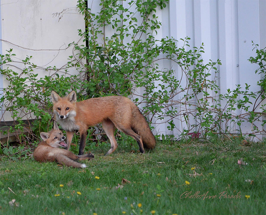 Foxes Photograph - But Mom by ChelleAnne Paradis