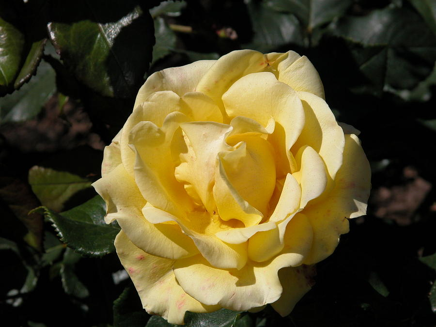 Nature Photograph - Butter Rose by William Thomas