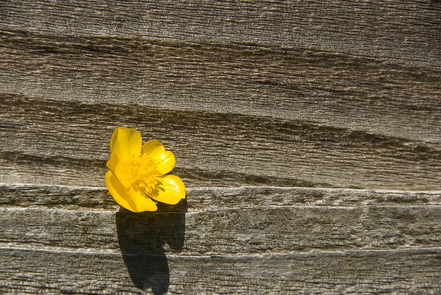 Buttercup Photograph - Buttercup And Wood by Peter Jarvis